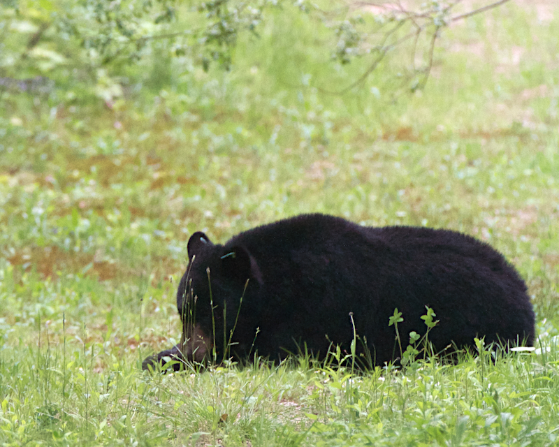 Black Bear, North Conway, New Hampshire